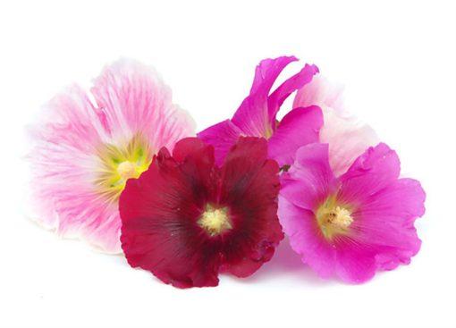بذر گل ختمی رنگارنگ