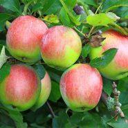 نهال سیب دورنگ