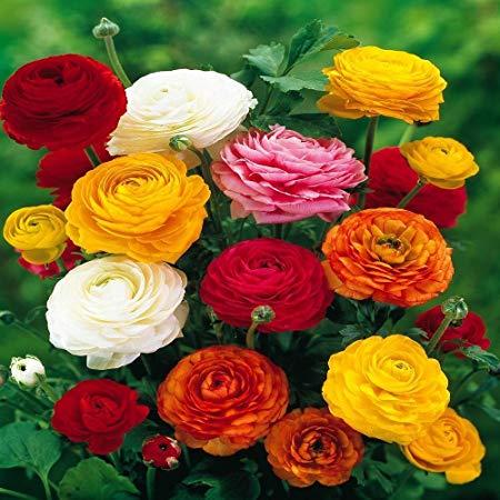 بذر گل آنمون