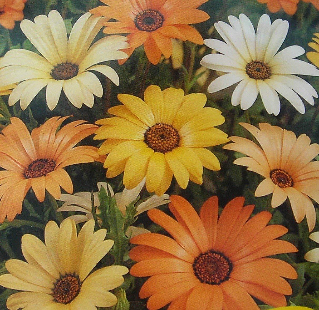 بذر گل گازانیای ساحلی
