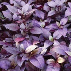 بذر گل آشلانتوس