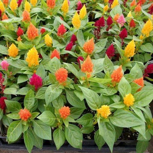 بذر گل تاج خروس رنگارنگ