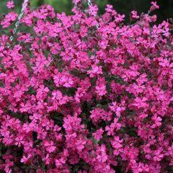 بذر گل سیلن