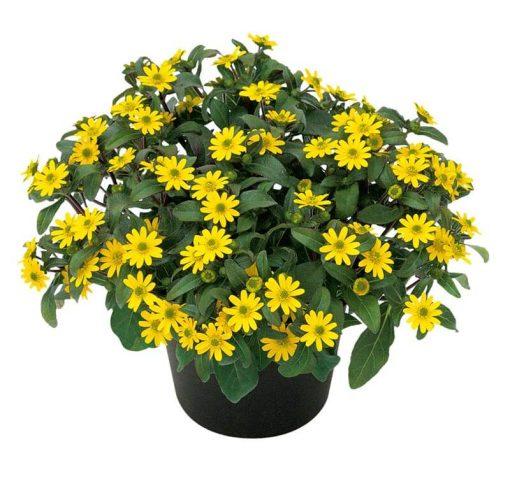 بذر گل آهار مینیاتوری