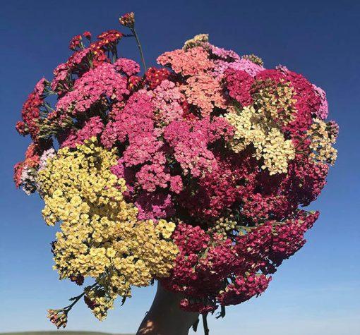 بذر گل بومادران کلرادو