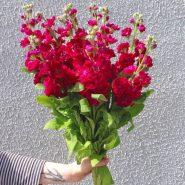 بذر گل شب بو پیلاستر کارمین