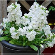 بذر گل شب بو سیندرلا سفید