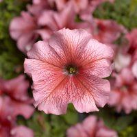 بذر گل اطلسی سالمون