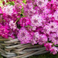 بذر گل ایبریس
