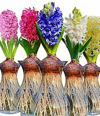 پیاز گل و زعفران