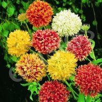 بذر گل سرنوشت گالاردیا