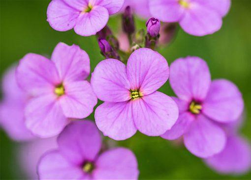 بذر گل هسپریس بانوان