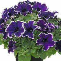بذر گل اطلسی آبی یخی
