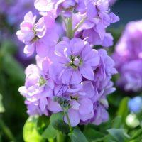 بذر گل شب بو پیلاستر لاوندر