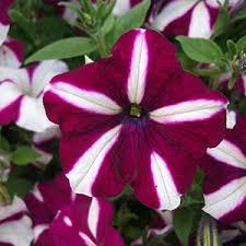 بذر گل اطلسی ستاره زرشکی