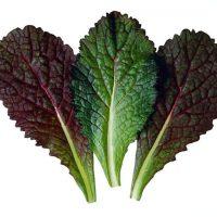 بذر خردل قرمز هیبرید