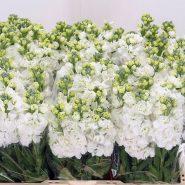 بذر گل شب بو سفید