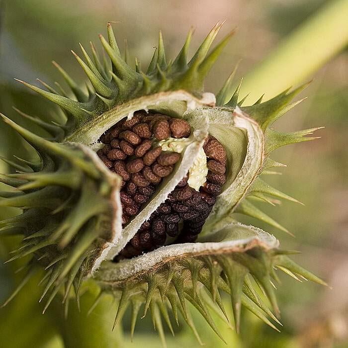 گیاه داتوره