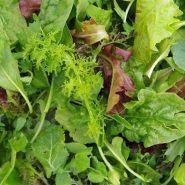 بذر سبزیجات سالادی ژاپنی