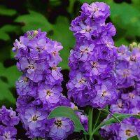 بذر گل شب بو پیلاستر آبی