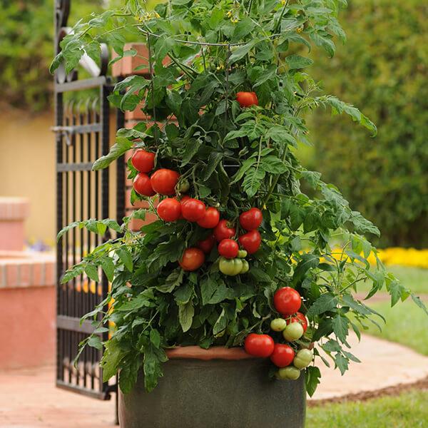 کاشت گوجه