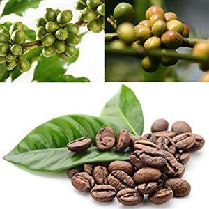 گیاه قهوه
