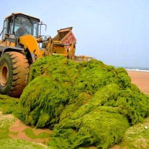 کاربرد جلبک ها