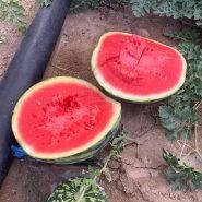 بذر هندوانه هیبرید