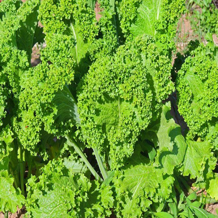 کاشت سبزی خردل