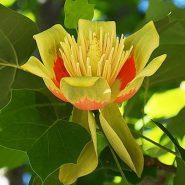 بذر لاله درختی آمریکایی