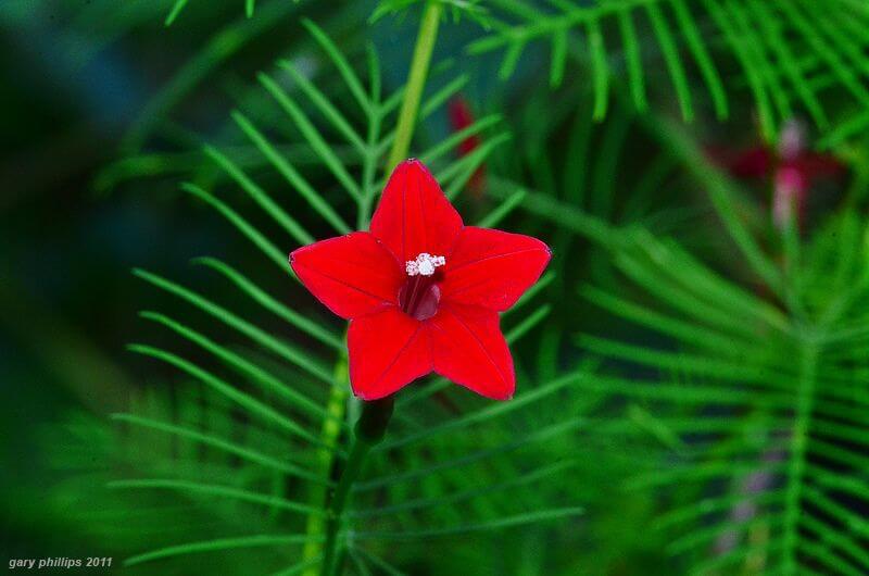 بذر گل نیلوفر پیچ