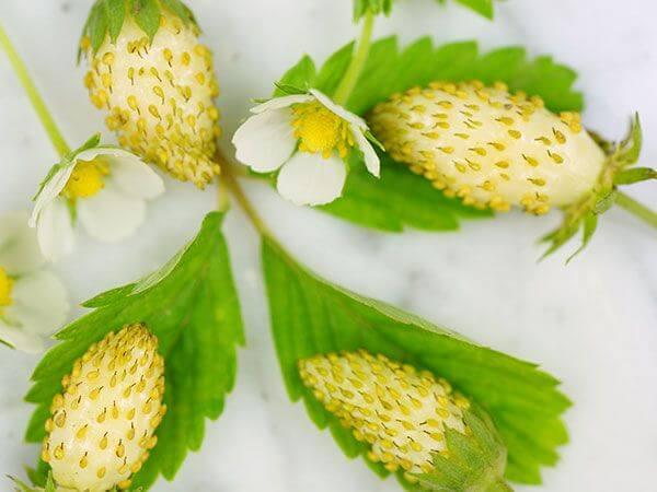 بذرتوت فرنگی سفید