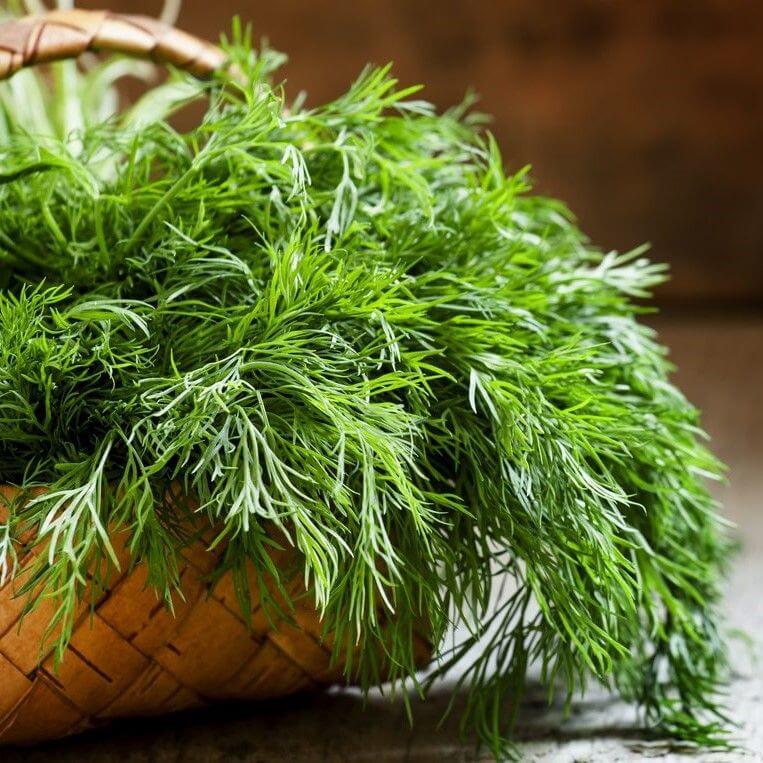 شوید و روش های کاشت و برداشت این سبزی ارزشمند