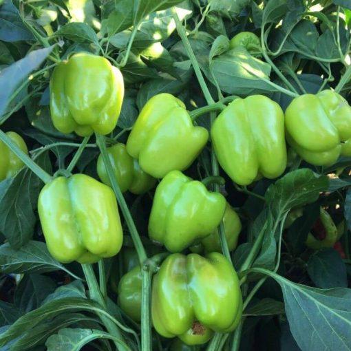 بذر فلفل دلمه سبز فسفری