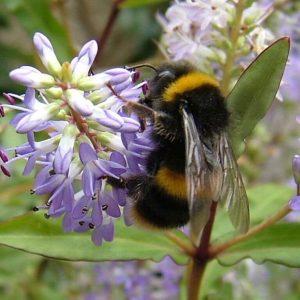 زنبورهای مخملی