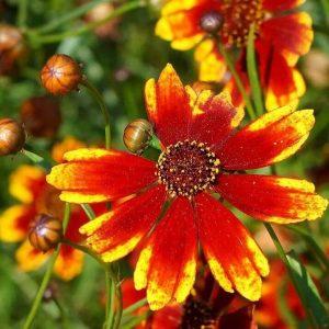 گل اشرفی
