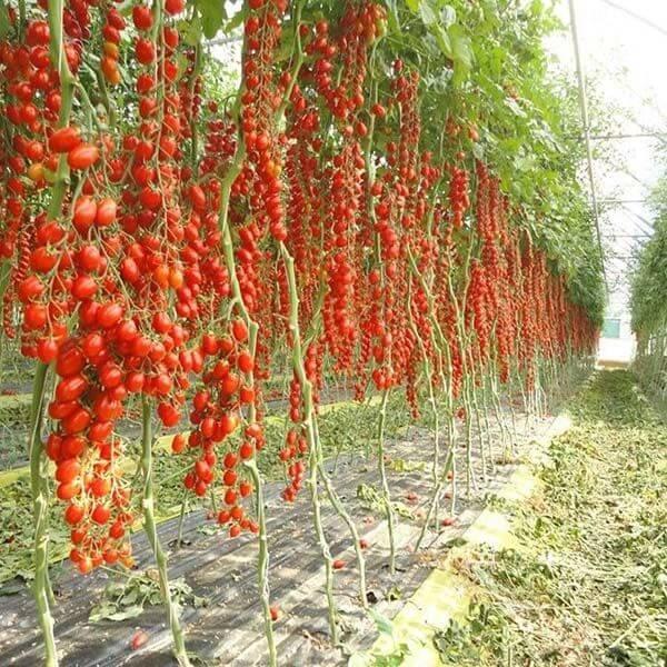 کیفیت محصولات گلخانه ای