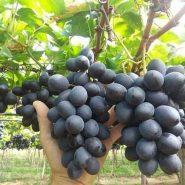 نهال انگور شامپاین