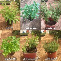 گیاهان دارویی گلدانی