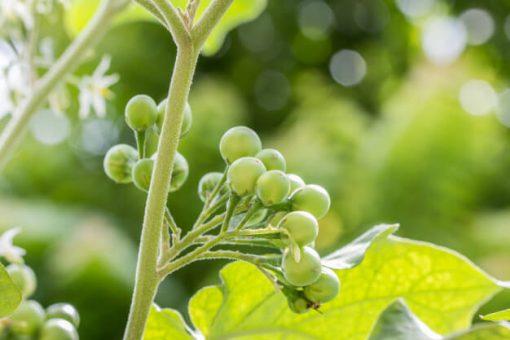 بذر بادمجان نخودی سبز