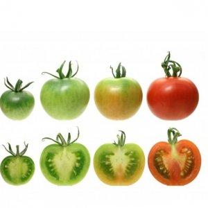 بلوغ گوجه فرنگی