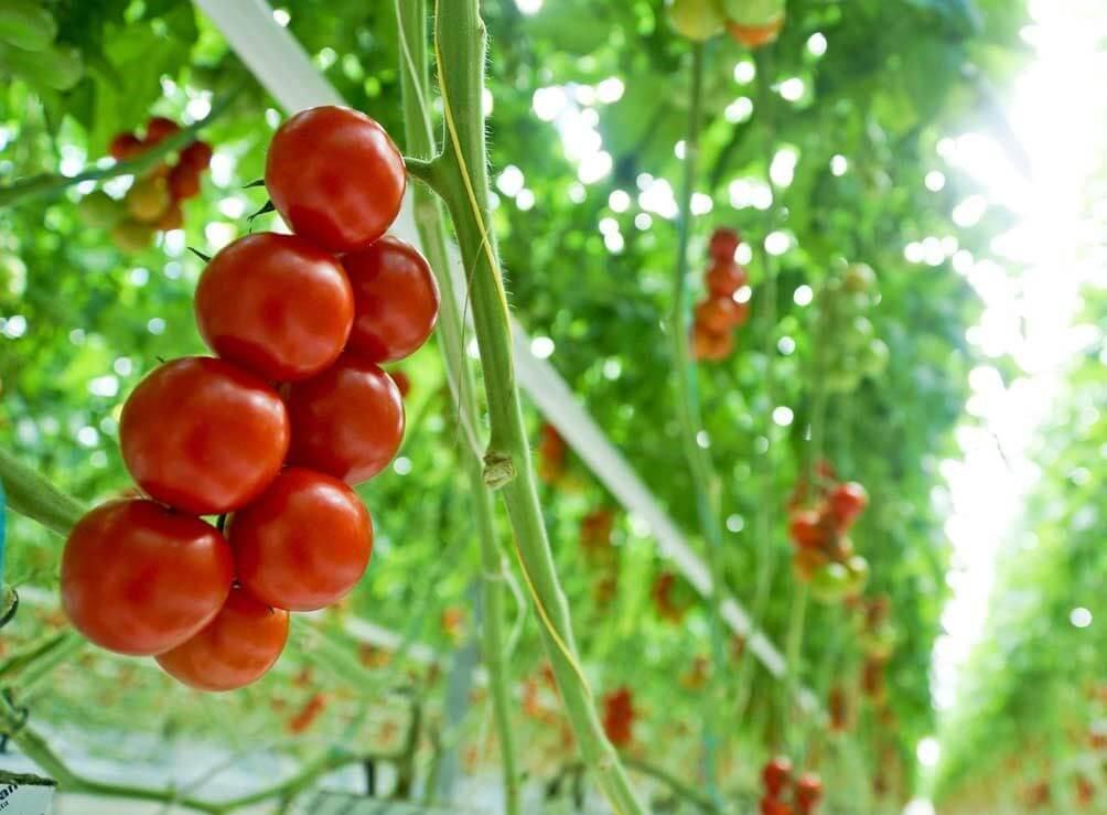 کشت گوجه فرنگی گلخانه اى در بسترهای مختلف