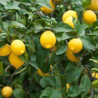 کاشت نهال لیمو