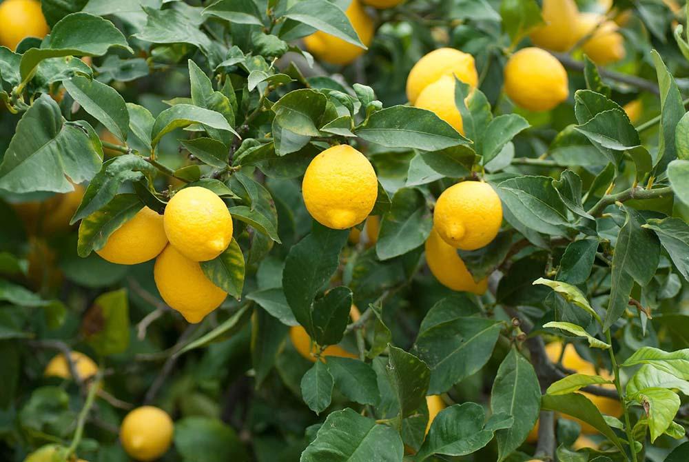 نکات کاربردی در کاشت نهال لیمو ترش