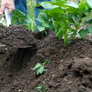 خاک دهی پای بوته