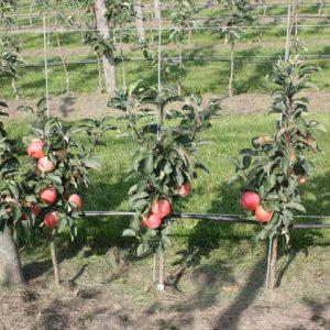 درختان میوه