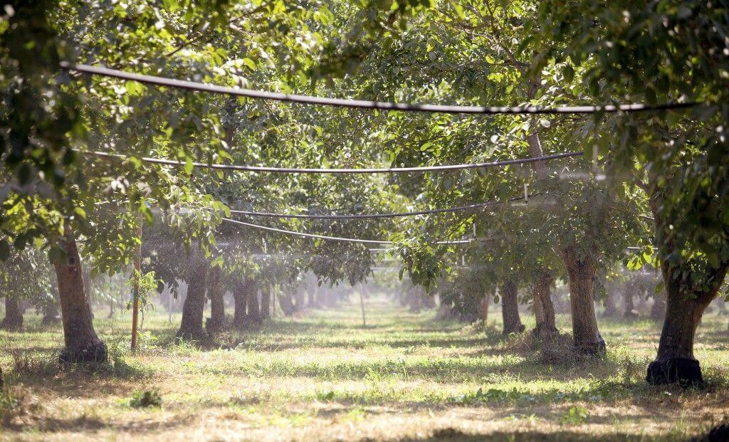 کم آبیاری درختان گردو