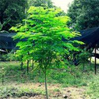 کاشت مورینگا