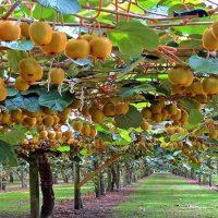 باغ کیوی فروت