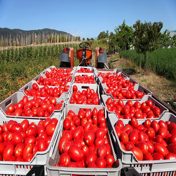 بذر گوجه فرنگی سالوادور